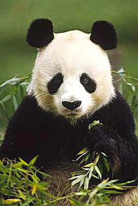 20160227193548-oso-panda.jpg